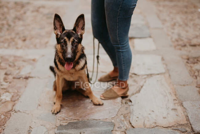 Cute german shepherd standing on cobblestone pavement with crop owner standing near — Stock Photo
