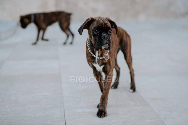 D'en haut adorables chiens boxeurs avec des visages amusants se promenant sur la chaussée et attendant l'équipe — Photo de stock