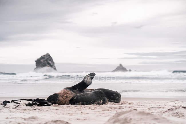 Joints adorables marron couchés et profitant du soleil sur la plage en plein jour — Photo de stock