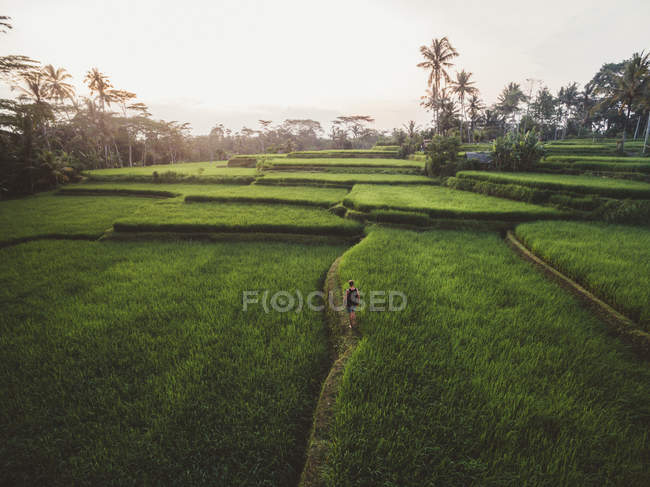 Vista aérea del hombre caminando por el sendero entre exuberantes campos verdes de plantación tropical, Bali - foto de stock