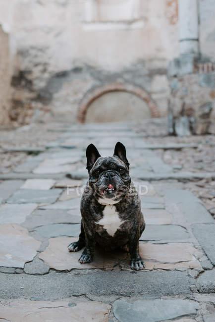 Французский бульдог с серыми пятнами сидит на улице и смотрит в камеру — стоковое фото