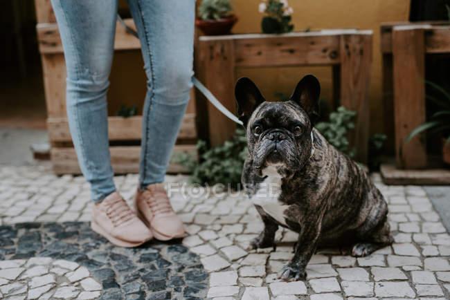 Cute bulldog sitting on cobblestone pavement near owner legs — Stock Photo