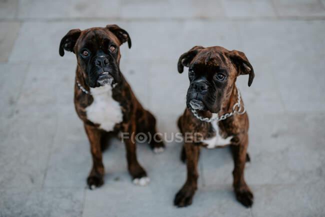 Сверху очаровательные боксерские собаки с забавными лицами, сидящие на тротуаре и ждущие команды — стоковое фото