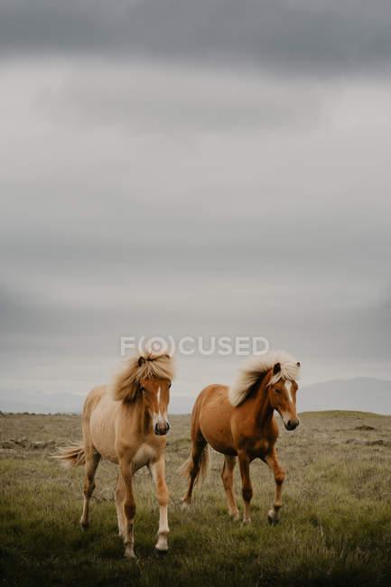 Cavalli marroni che trotterellano nel prato meraviglioso il giorno di autunno — Foto stock
