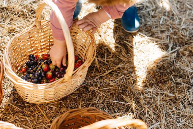 Сверху руки ребенка собирают ягоды, клубнику и смородину со дна корзин в сухом солнечном дворе — стоковое фото