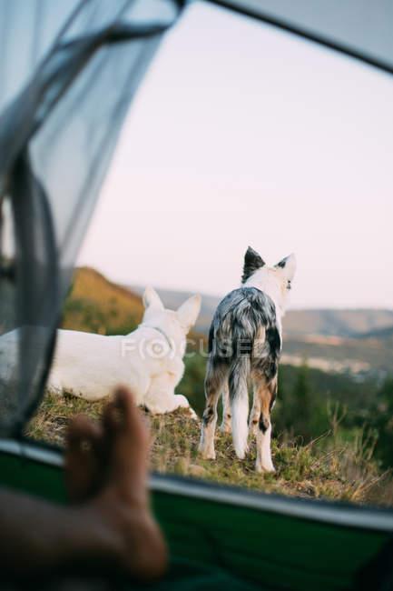 Treue Hunde bewachen Zeltlager mit anonymen Touristen auf dem Land — Stockfoto