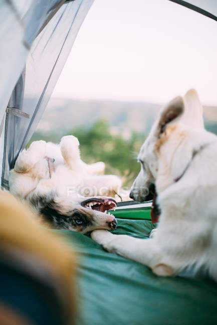 Верные собаки охраняют палатку в сельской местности — стоковое фото