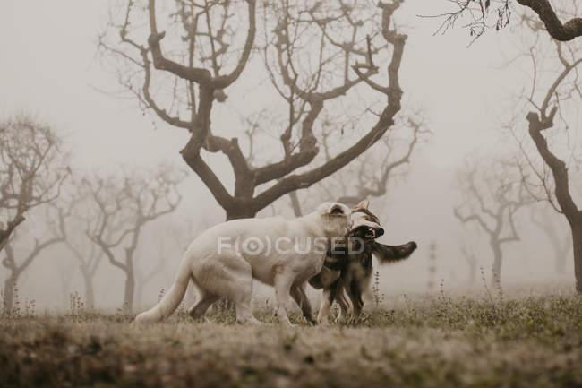 Loups furieux se mordant tout en se battant près d'arbres sans feuilles dans la nature — Photo de stock