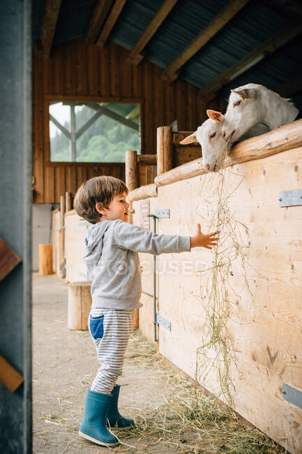 Back view of caring kid in blue rubber boots feeding from hand cute fluffy goats behind wooden pen — Stock Photo