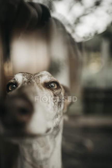 Primer plano de galgo curioso presionando la nariz al vidrio mientras mira por la ventana en casa - foto de stock