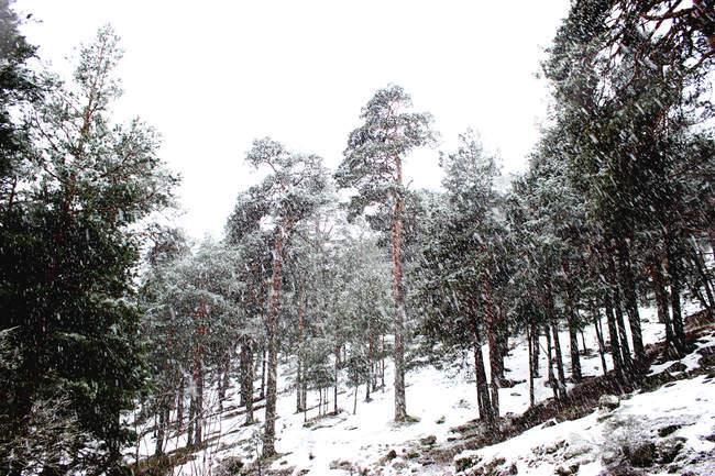 Хвойные леса, покрытые снегом зимой — стоковое фото