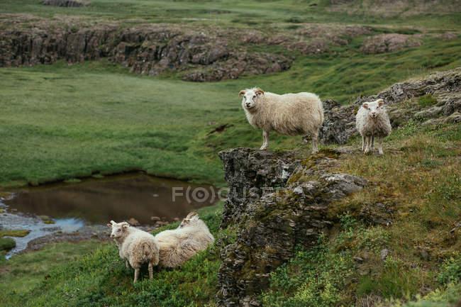 Mandria di pecore in piedi su uno scenario roccioso e verde in natura — Foto stock