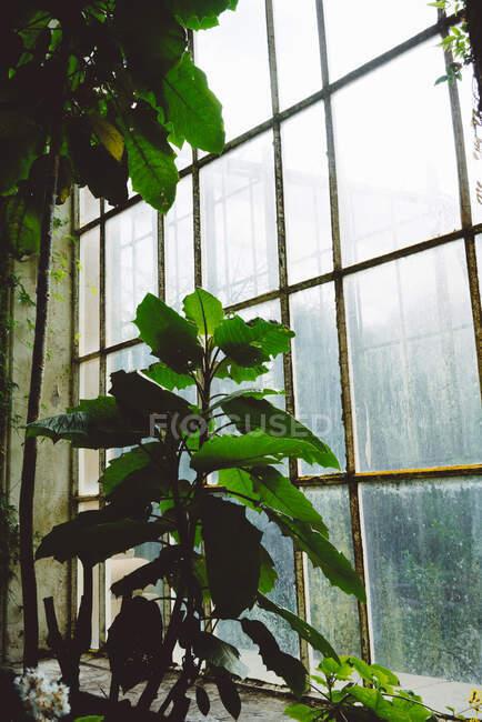 Piante verdi e cespugli all'interno della vecchia serra con grandi finestre ad arco, Scozia — Foto stock