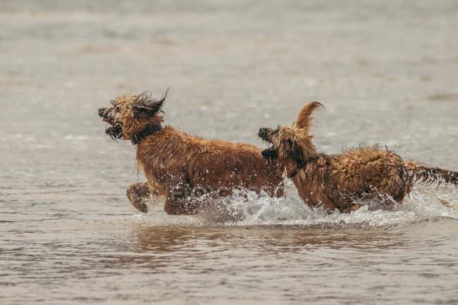 Terriers de frontière excités avec la fourrure humide fonctionnant et jouant dans l'eau dans la nature — Photo de stock