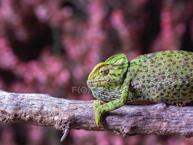 Closeup of chameleon sitting on branch on blurred background — Stock Photo