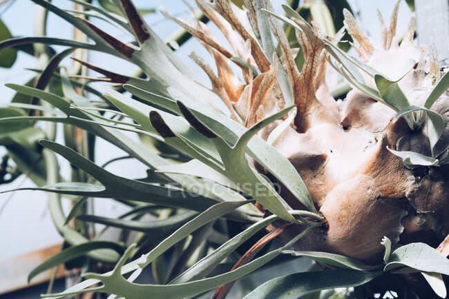 Bella pianta esotica con lunghe foglie spesse che crescono dal germoglio in serra, Scozia — Foto stock