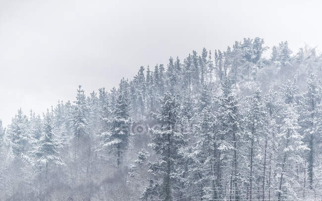 Beautiful valley with coniferous woods on mountain slope in heavy snowstorm — Stock Photo