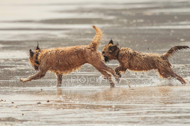 Збуджений кордоні Тер'єри з мокрим хутром працює і грає у воді в природі — стокове фото