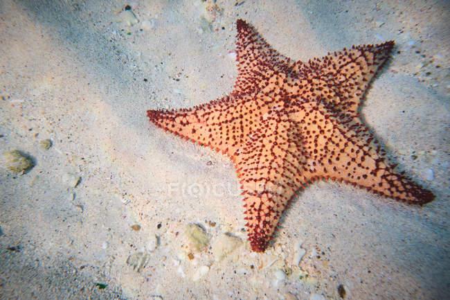 Червоні міхур Морська зірка на піщаній глибині під чистою водою — стокове фото