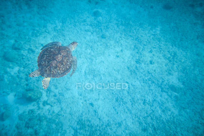 Water turtle swimming in blue depth in water — Stock Photo