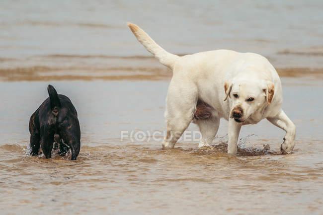 Retriever de Labrador engraçado e buldogue francês preto que jogam na água de mar na natureza — Fotografia de Stock