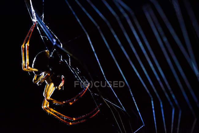 Große räuberische Spinne Weben Spinnweben auf schwarzem Hintergrund — Stockfoto