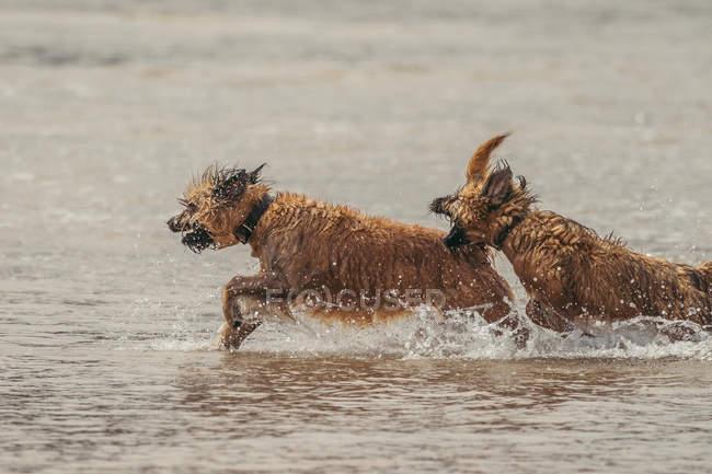 Eccitati Border Terrier con pelliccia bagnata in esecuzione e giocare in acqua in natura — Foto stock