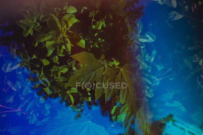 Подвійна експозиція синього світла над зеленим листям кущів в саду — стокове фото