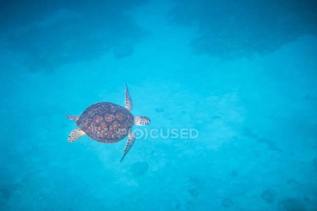 Нескінченна чиста глибина і красива черепаха в спокійній Бірюзова вода — стокове фото
