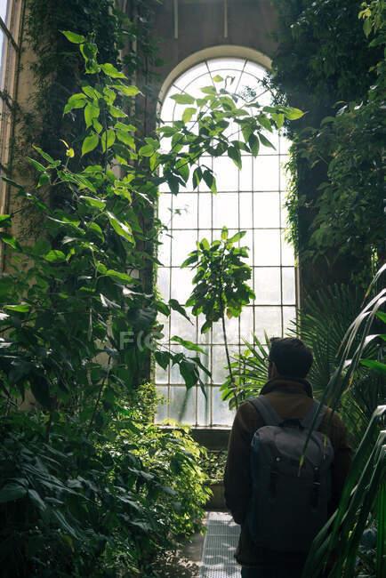 Vista trasera del hombre con mochila caminando entre plantas verdes y arbustos dentro del antiguo invernadero con techo alto y ventana arqueada, Escocia - foto de stock