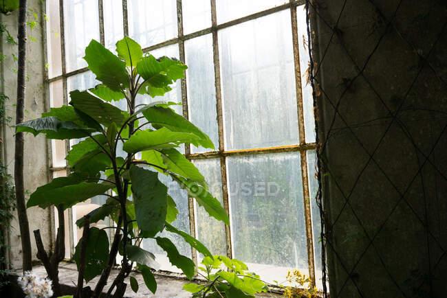 Plantas verdes y arbustos dentro del viejo invernadero con grandes ventanas arqueadas, Escocia - foto de stock