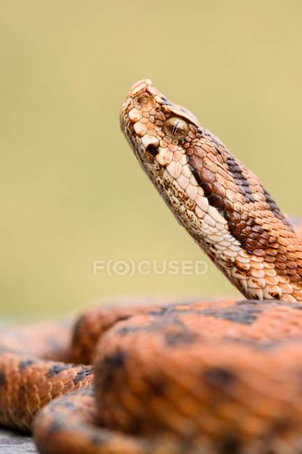 Крупним планом плямистий змія згорнувшись на землі — стокове фото