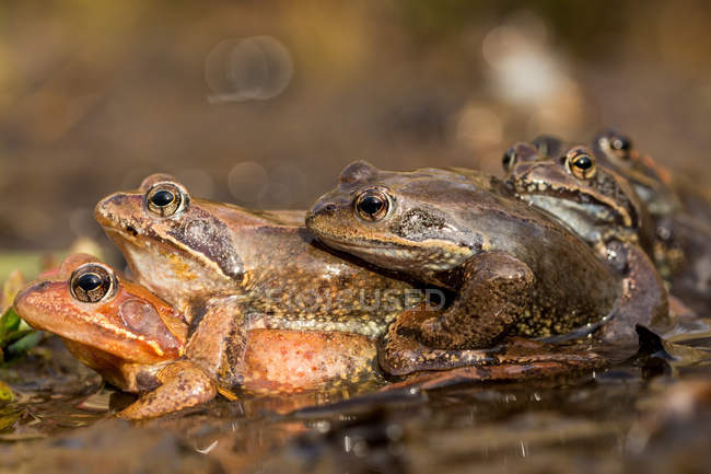 Closeup of stacked frogs in water on blurred background — Stockfoto
