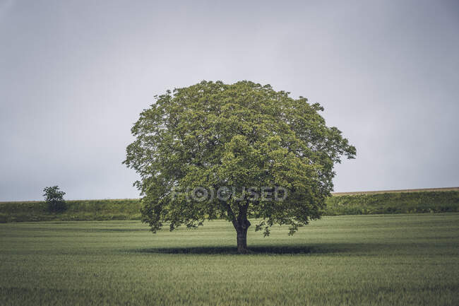 Stunning tree with large crown and lush leaves in field in cloudy day — Stock Photo