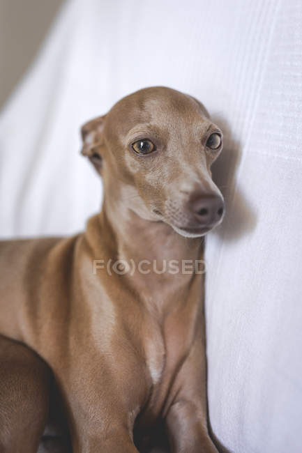 Friendly little italian greyhound dog lying down on sofa — Stock Photo