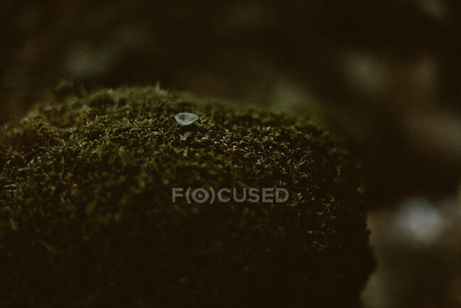 Stone covered with dark lichen and tiny white flower in soft focus. Omnipresent resilient nature and beauty in ugly concept — Stock Photo