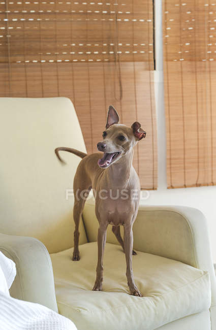 Friendly little italian greyhound dog standing on sofa — Stock Photo