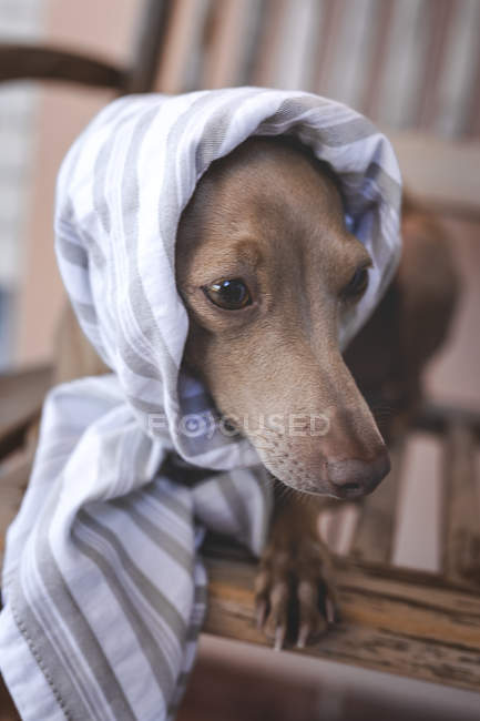 Little friendly and funny italian greyhound dog in costume — Stock Photo