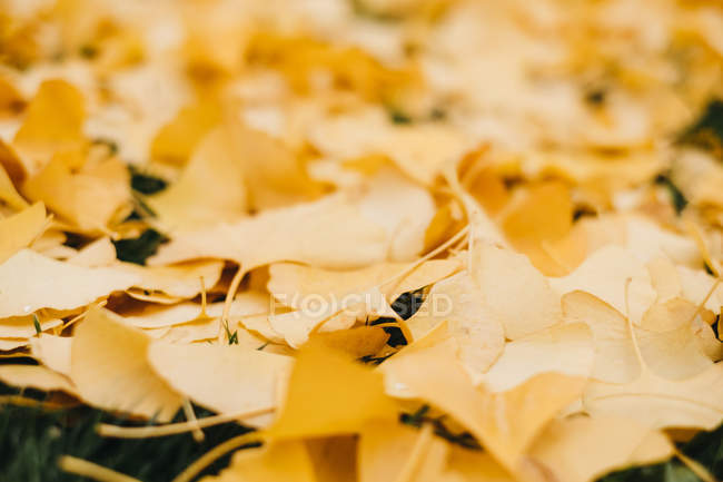 Closeup of fallen yellow leaves covering green grass outdoors — Stock Photo