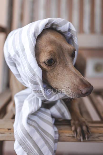 Piccolo simpatico e divertente cane levriero italiano in costume — Foto stock