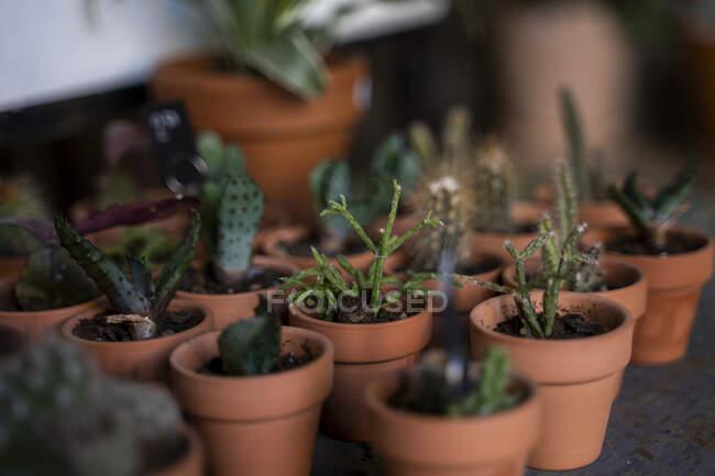 Суккуленты и кактусы в горшках — стоковое фото