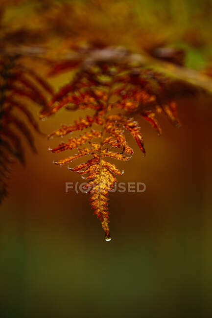 Closeup yellow fern leaf with drop of clean water on blurred background of forest in Finland — Stock Photo