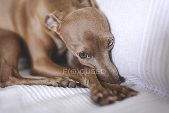 Дружелюбная маленькая итальянская собака-борзая лежит на диване — стоковое фото