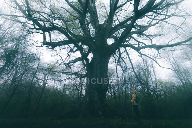 Vista laterale del turista ammirando enorme albero antico coperto di muschio sullo sfondo del cielo nuvoloso — Foto stock