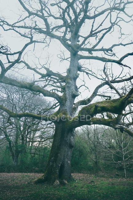 Enorme albero antico ricoperto di muschio in parco sullo sfondo del cielo nuvoloso — Foto stock