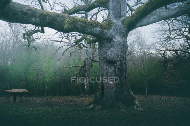 Huge ancient tree covered by moss in park on background of cloudy sky — Stock Photo