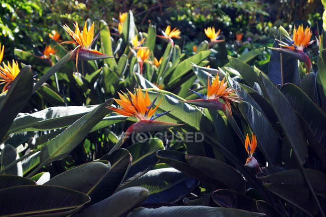 Bird of paradise flowers with lush green leaves growing on flowerbed on sunny spring day in tropical garden — Stock Photo