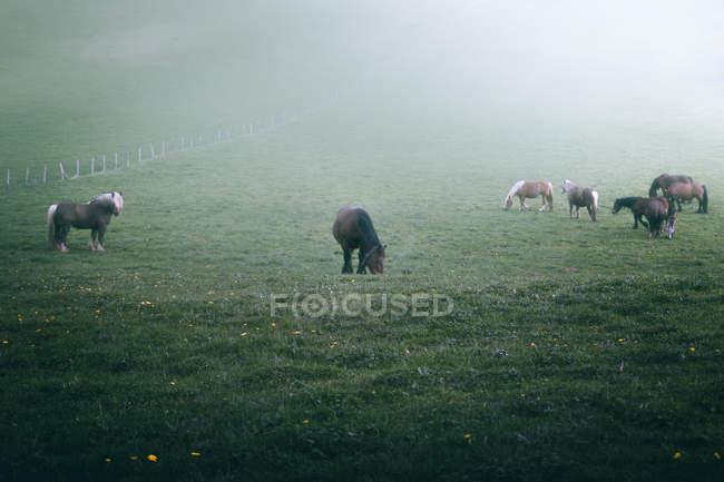 Erstaunliche Pferde mit kastanienfarbenem Fell stehen auf nebligem Hintergrund der Natur — Stockfoto