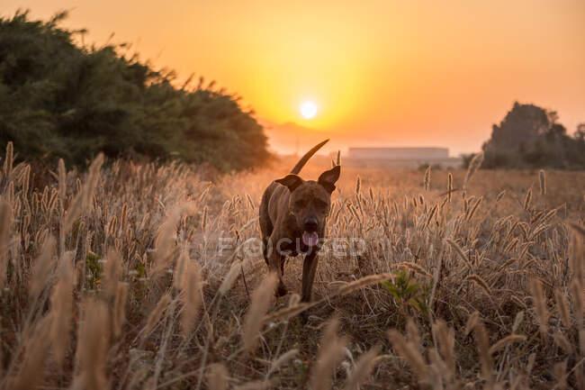 Perro grande con abrigo corto y suave que corre libre en prado salvaje con hierba alta durante la hermosa puesta de sol roja y naranja - foto de stock