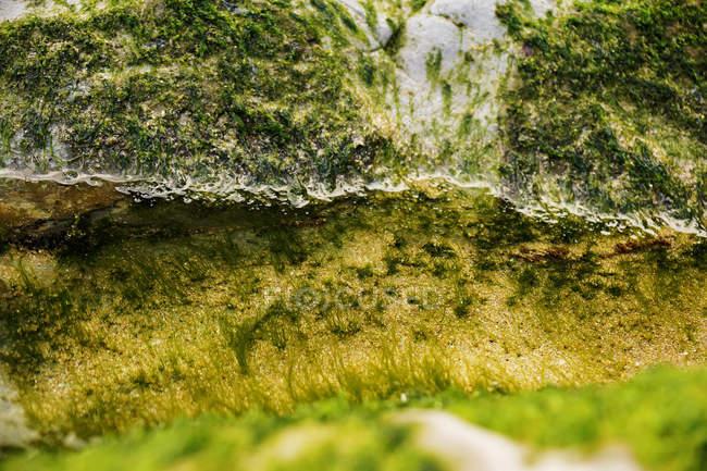 Крупним планом вологих водоростей на камені в природі — стокове фото
